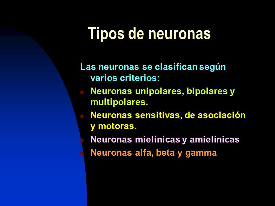 Tipos de neuronas Las neuronas se clasifican según varios criterios: