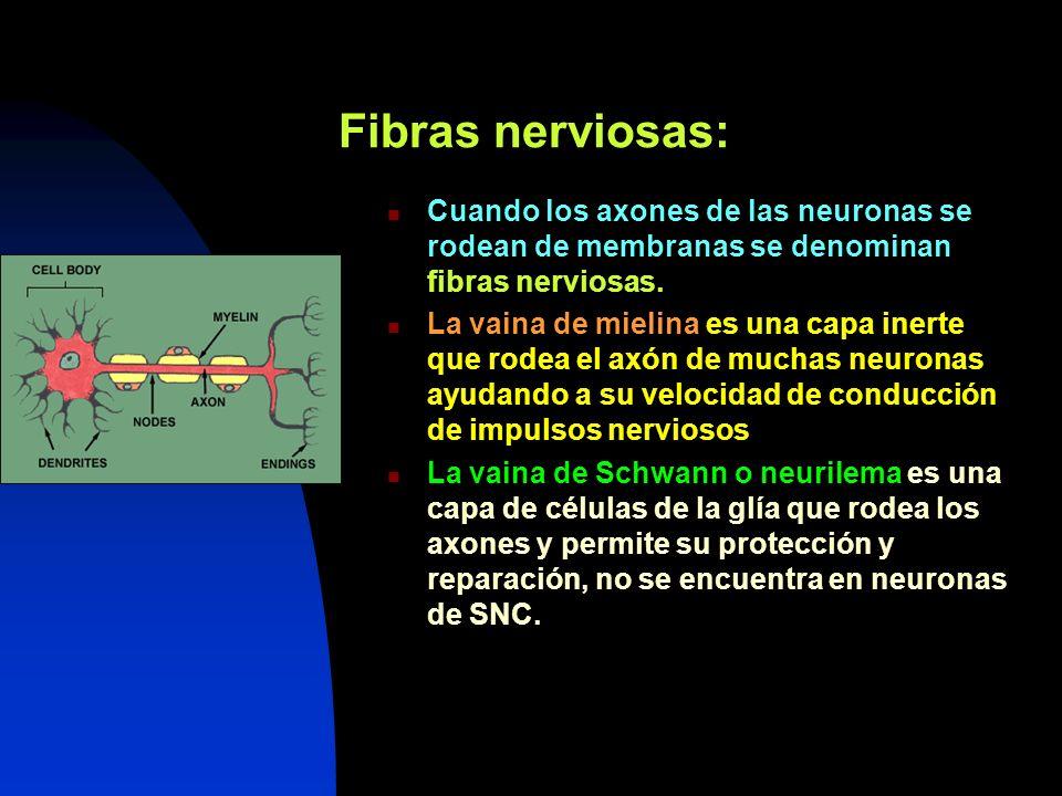 Fibras nerviosas: Cuando los axones de las neuronas se rodean de membranas se denominan fibras nerviosas.