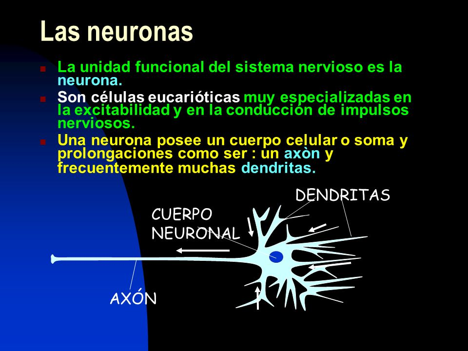 Las neuronas La unidad funcional del sistema nervioso es la neurona.