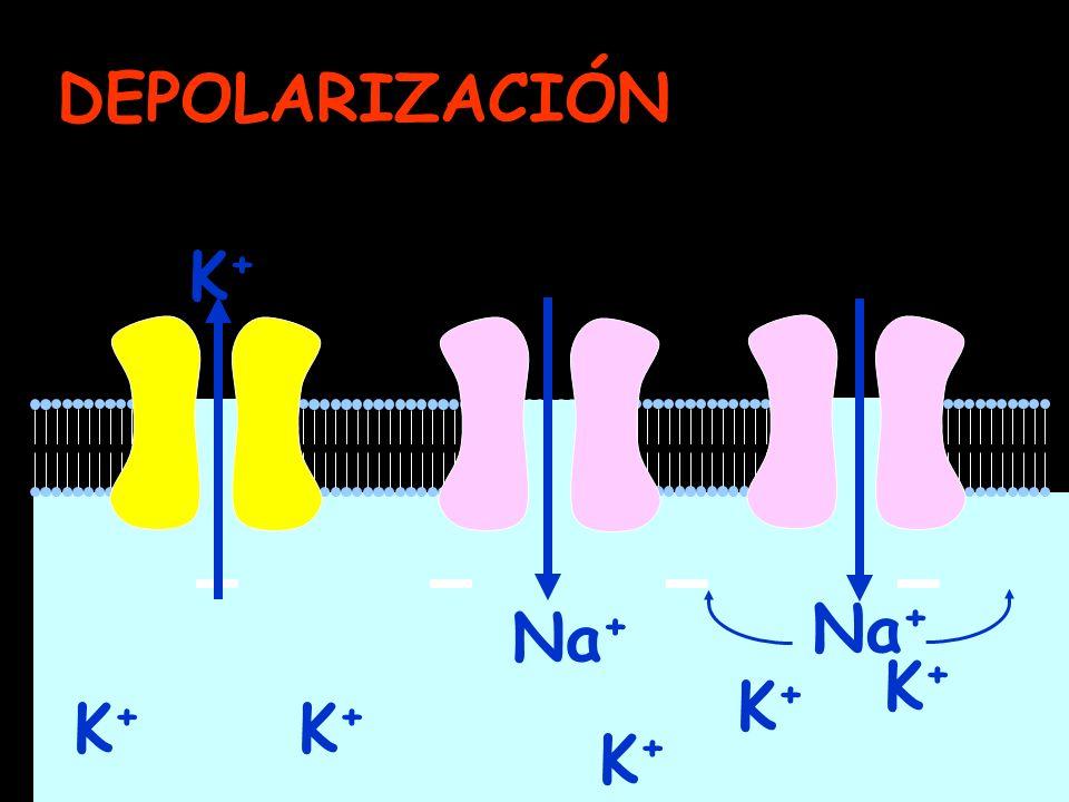 DEPOLARIZACIÓN K+ Na+ Na+ K+ K+ K+ K+ K+