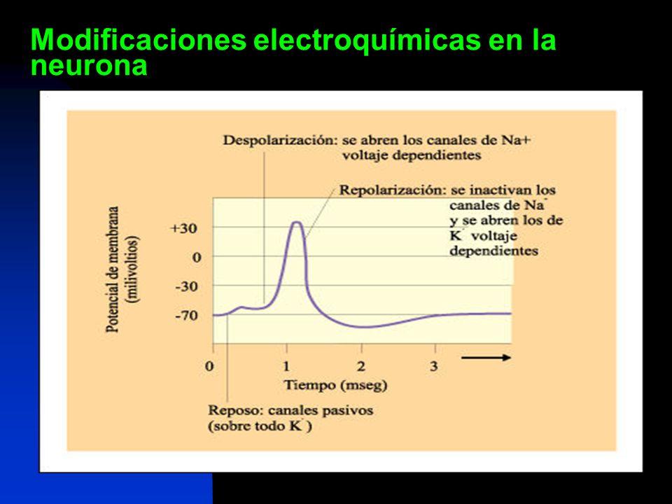 Modificaciones electroquímicas en la neurona
