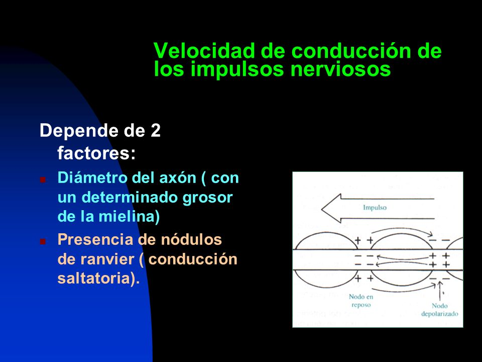 Velocidad de conducción de los impulsos nerviosos