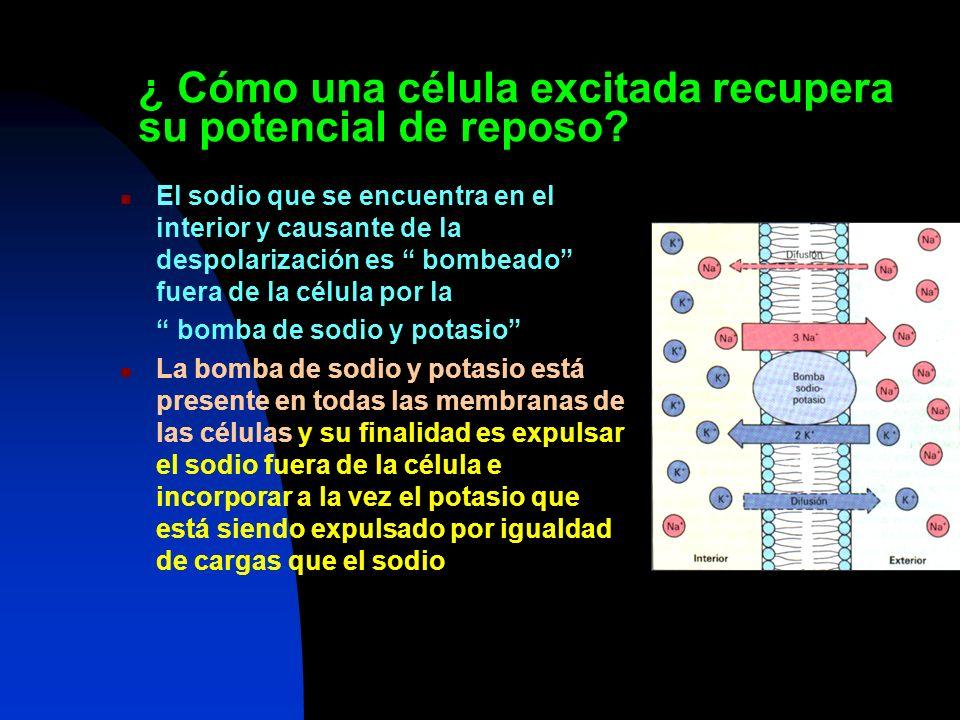 ¿ Cómo una célula excitada recupera su potencial de reposo