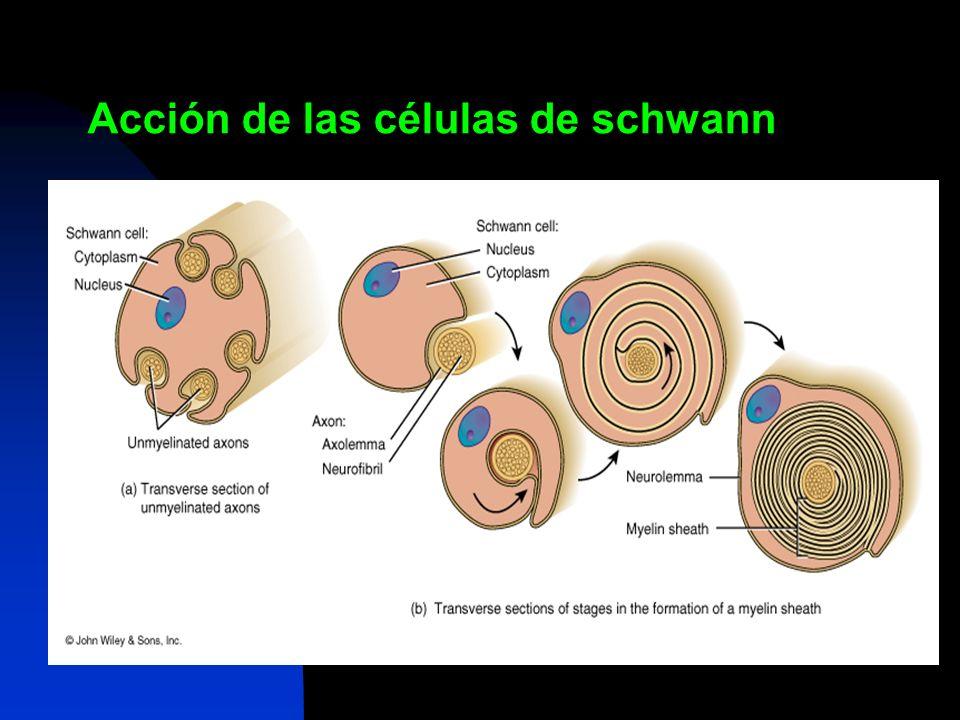 Acción de las células de schwann