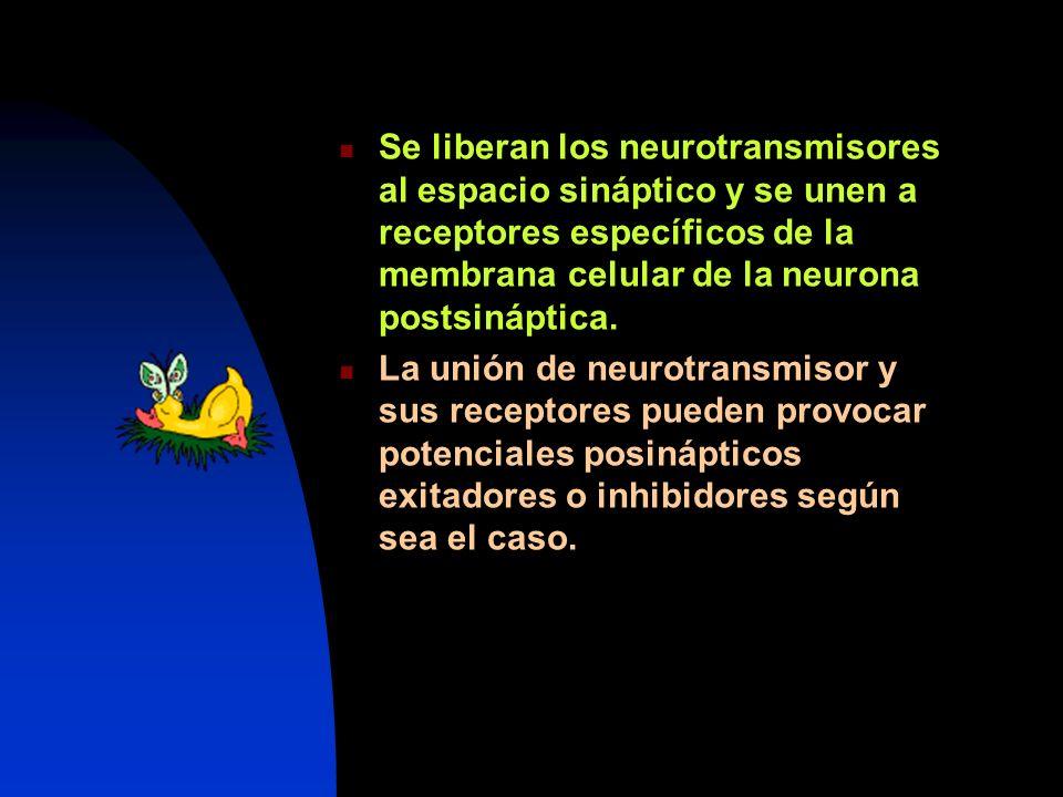 Se liberan los neurotransmisores al espacio sináptico y se unen a receptores específicos de la membrana celular de la neurona postsináptica.