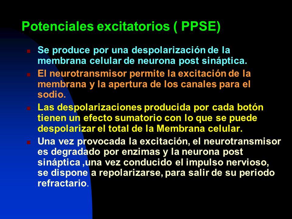 Potenciales excitatorios ( PPSE)