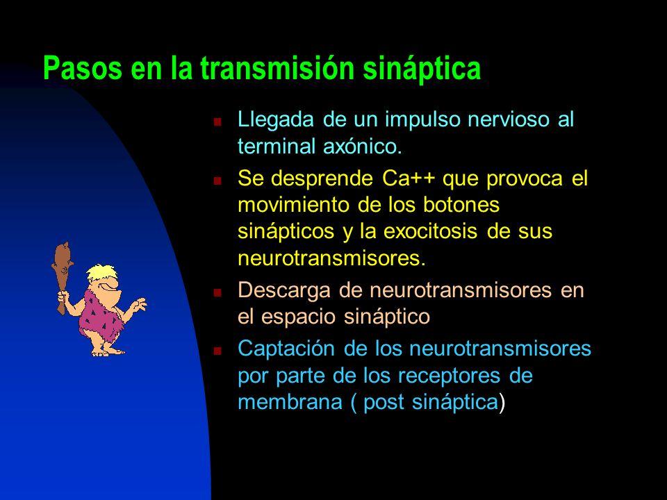 Pasos en la transmisión sináptica