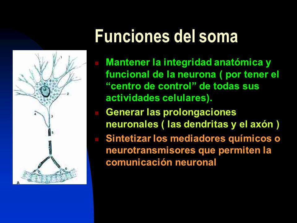 Funciones del soma Mantener la integridad anatómica y funcional de la neurona ( por tener el centro de control de todas sus actividades celulares).