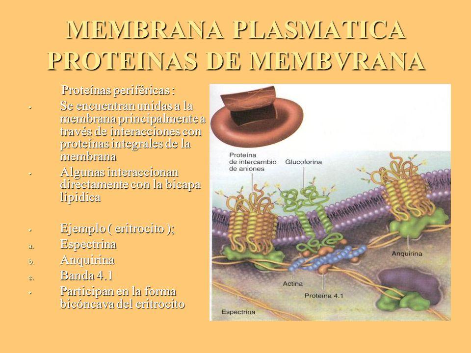 MEMBRANA PLASMATICA PROTEINAS DE MEMBVRANA