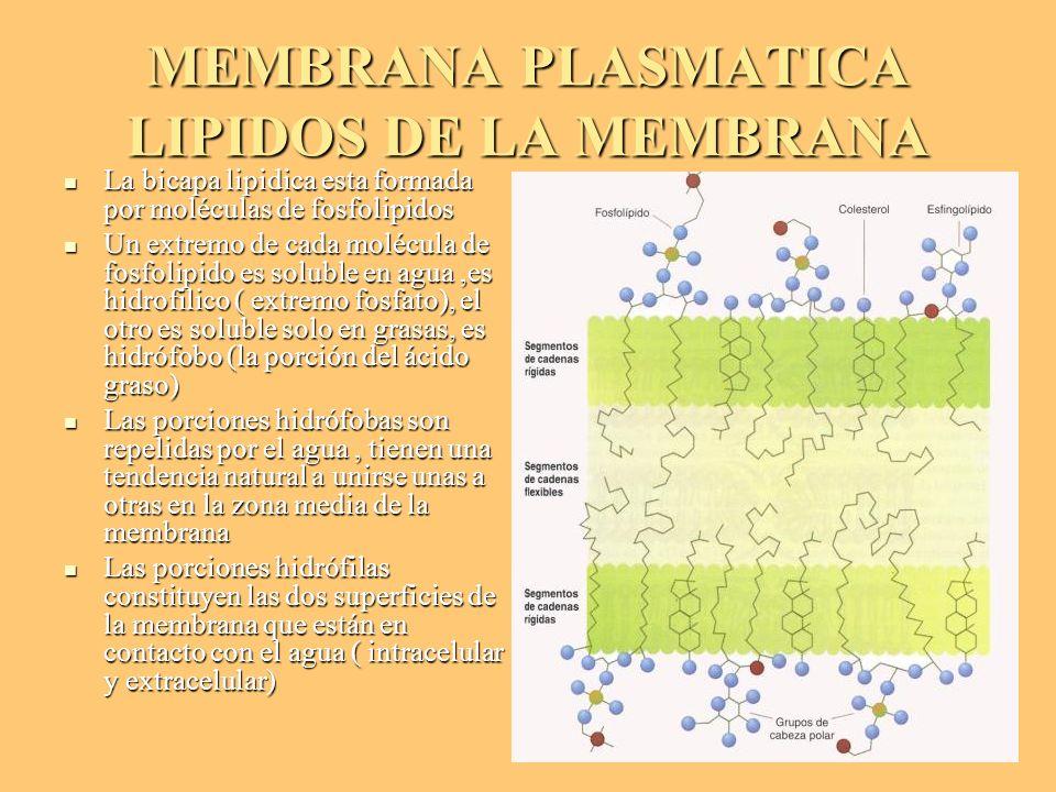 MEMBRANA PLASMATICA LIPIDOS DE LA MEMBRANA