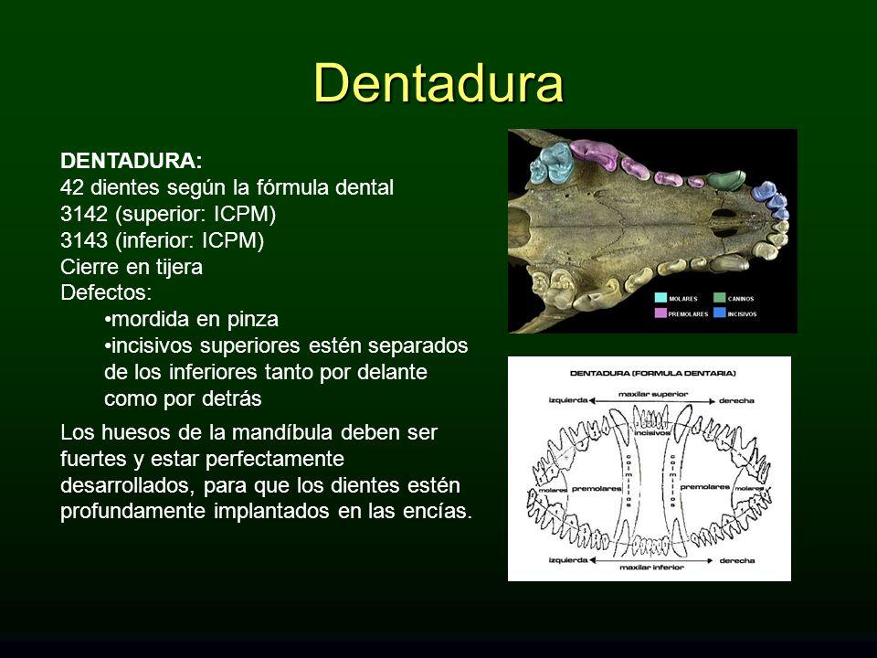 Dentadura DENTADURA: 42 dientes según la fórmula dental