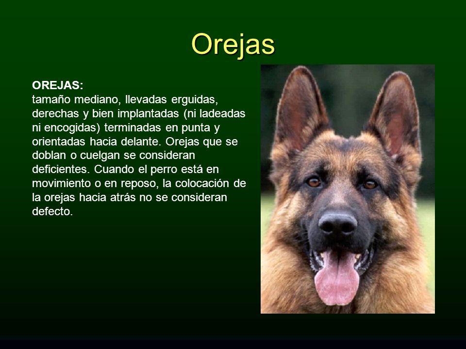 Orejas OREJAS: