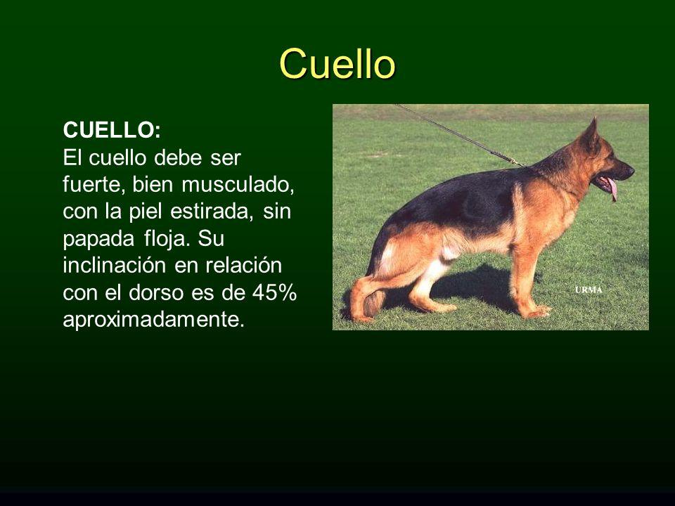 Cuello CUELLO: