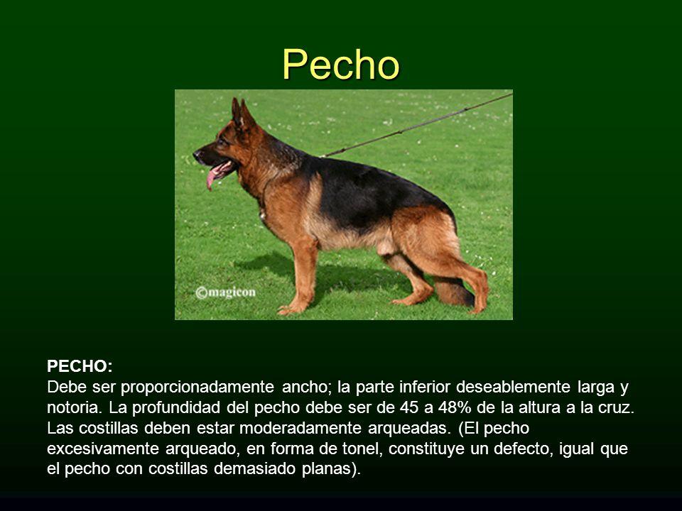 Pecho PECHO: