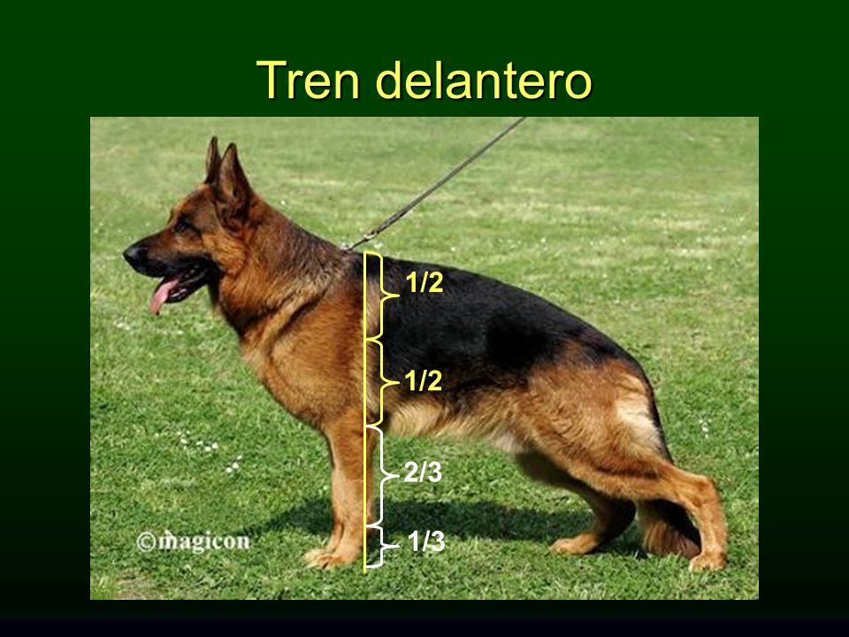 Tren delantero 1/2 1/2 2/3 1/3 TREN DELANTERO: