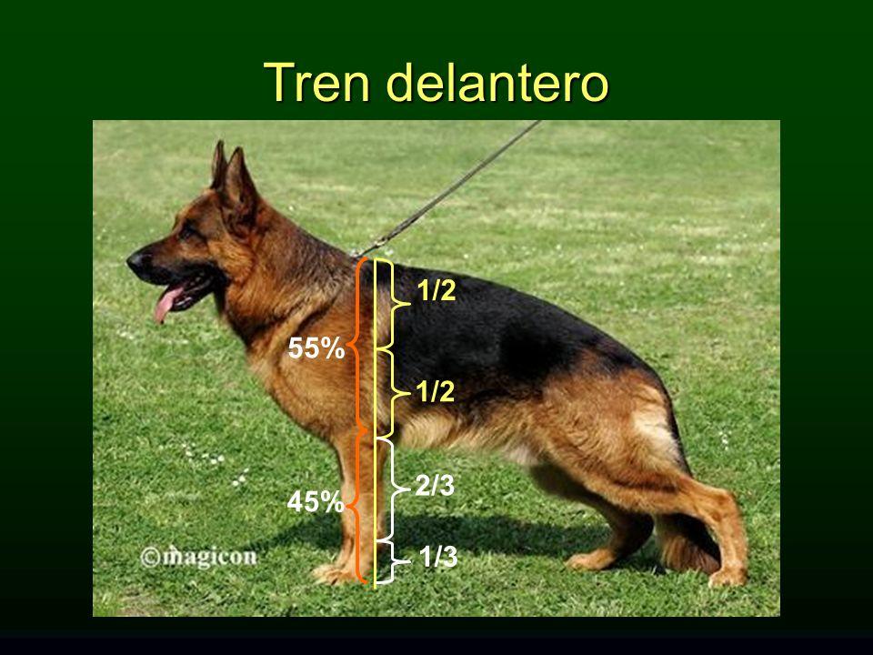 Tren delantero 1/2 55% 1/2 2/3 45% 1/3 TREN DELANTERO: