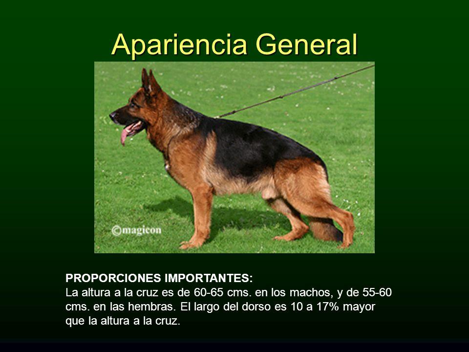 Apariencia General PROPORCIONES IMPORTANTES:
