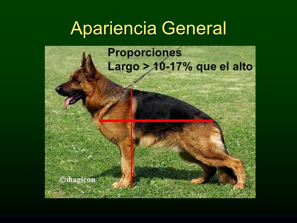 Apariencia General Proporciones Largo > 10-17% que el alto