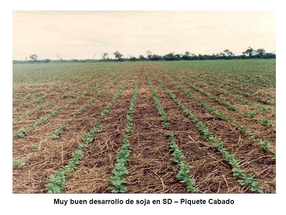 Muy buen desarrollo de soja en SD – Piquete Cabado