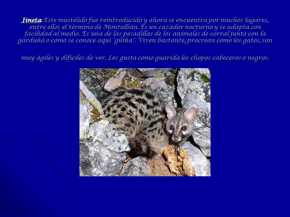 Jineta: Este mustélido fue reintroducido y ahora se encuentra por muchos lugares, entre ellos el término de Montalbán.