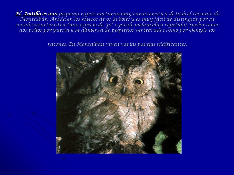 El Autillo es una pequeña rapaz nocturna muy característica de todo el término de Montalbán.