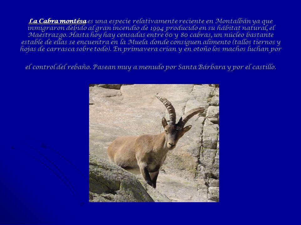 La Cabra montésa es una especie relativamente reciente en Montalbán ya que inmigraron debido al gran incendio de 1994 producido en su hábitat natural, el Maestrazgo.