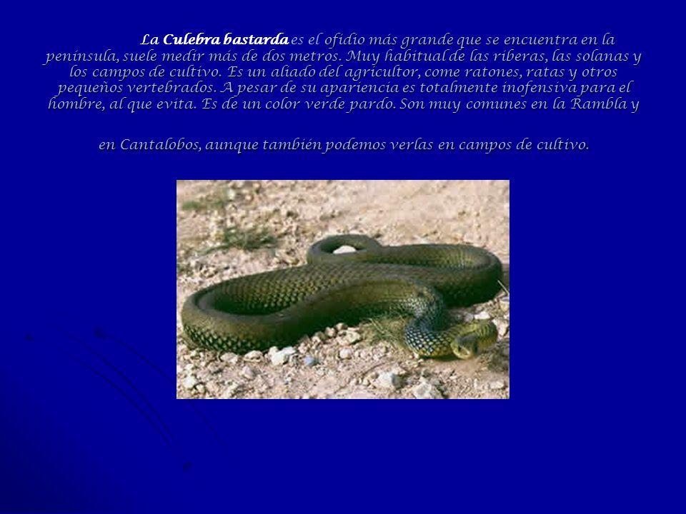 La Culebra bastarda es el ofidio más grande que se encuentra en la península, suele medir más de dos metros.