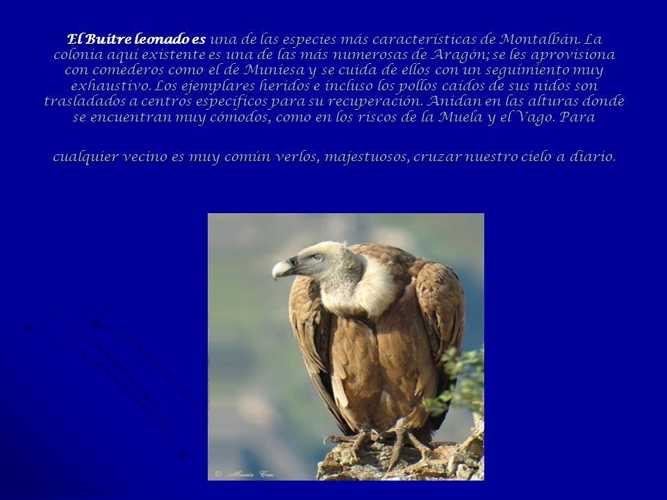 El Buitre leonado es una de las especies más características de Montalbán.