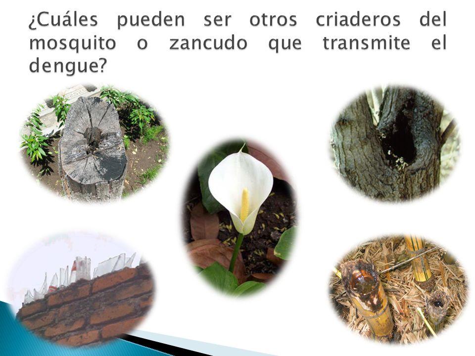 ¿Cuáles pueden ser otros criaderos del mosquito o zancudo que transmite el dengue