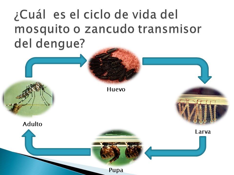 ¿Cuál es el ciclo de vida del mosquito o zancudo transmisor del dengue