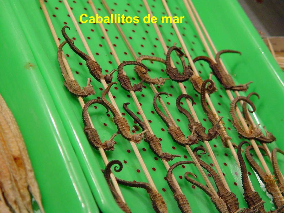 Caballitos de mar
