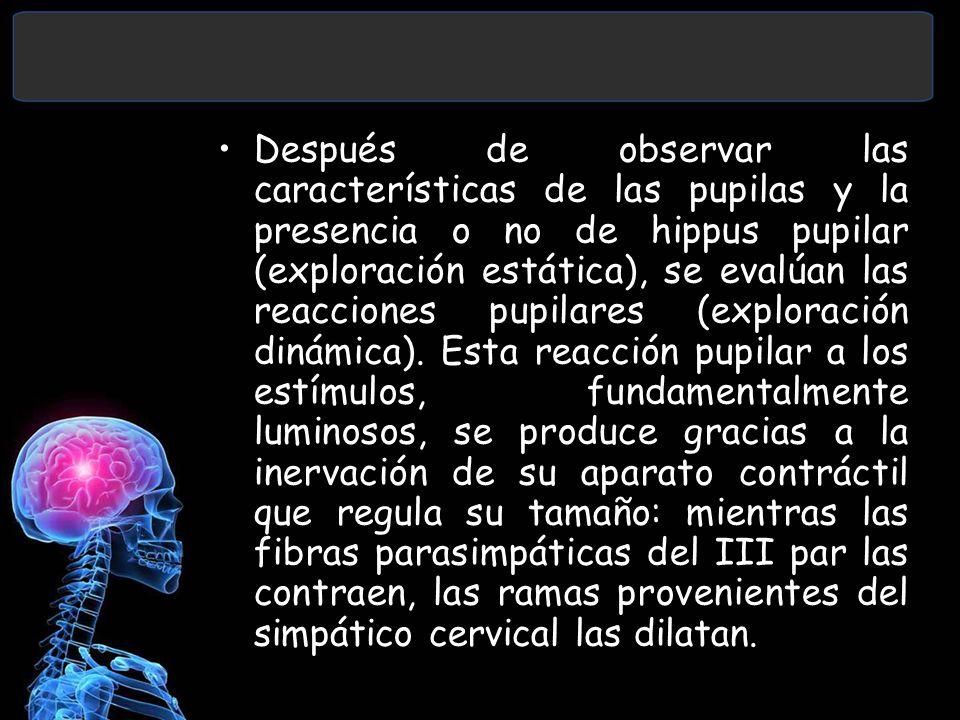 Después de observar las características de las pupilas y la presencia o no de hippus pupilar (exploración estática), se evalúan las reacciones pupilares (exploración dinámica).