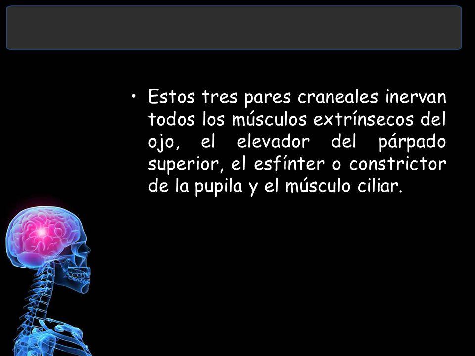 Estos tres pares craneales inervan todos los músculos extrínsecos del ojo, el elevador del párpado superior, el esfínter o constrictor de la pupila y el músculo ciliar.