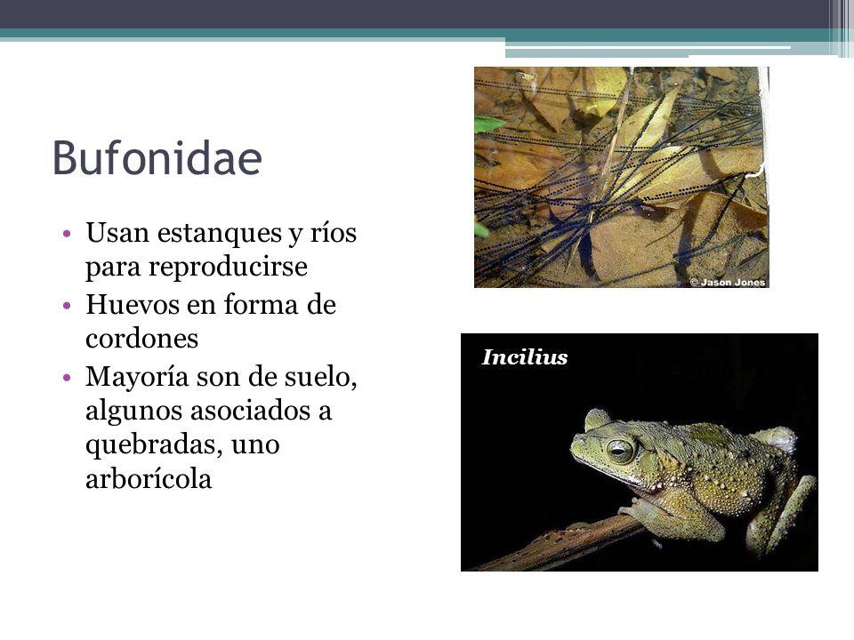 Bufonidae Usan estanques y ríos para reproducirse