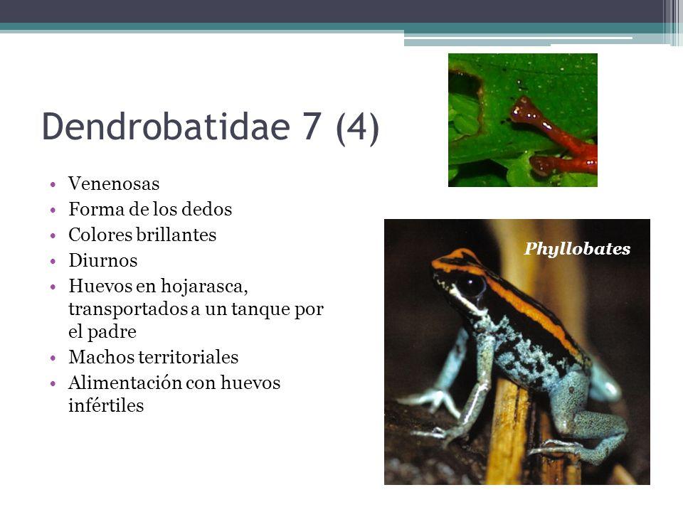 Dendrobatidae 7 (4) Venenosas Forma de los dedos Colores brillantes
