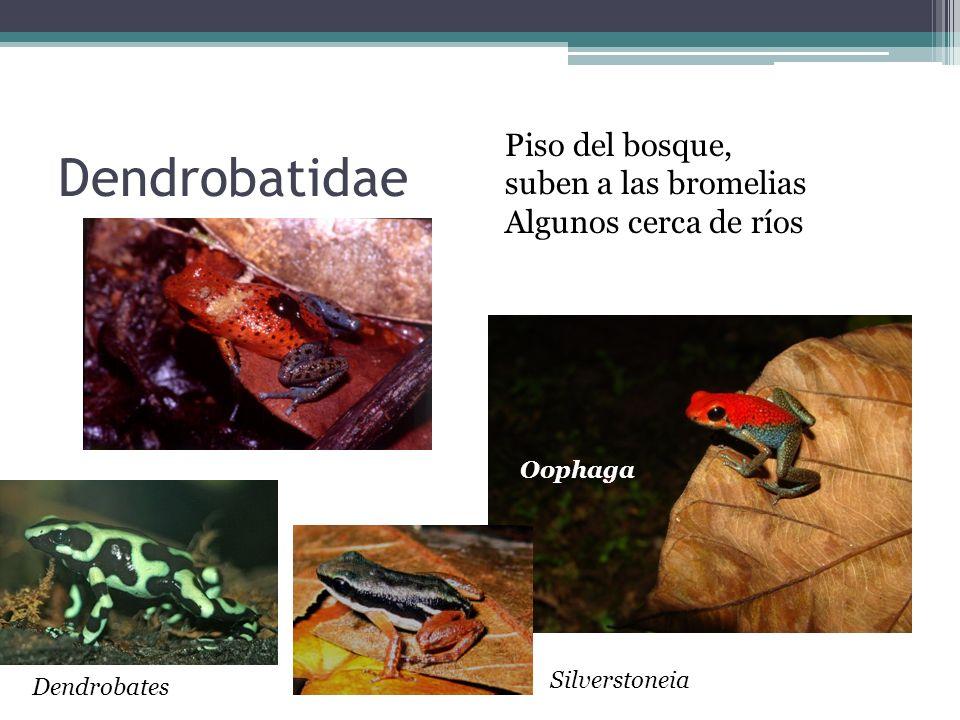 Dendrobatidae Piso del bosque, suben a las bromelias
