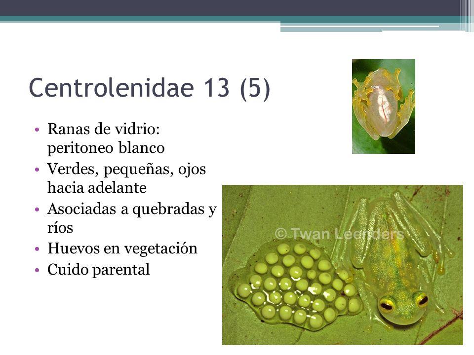 Centrolenidae 13 (5) Ranas de vidrio: peritoneo blanco