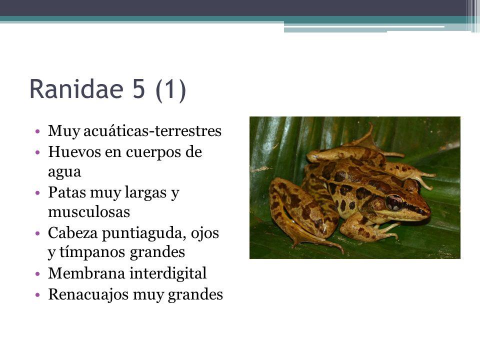 Ranidae 5 (1) Muy acuáticas-terrestres Huevos en cuerpos de agua