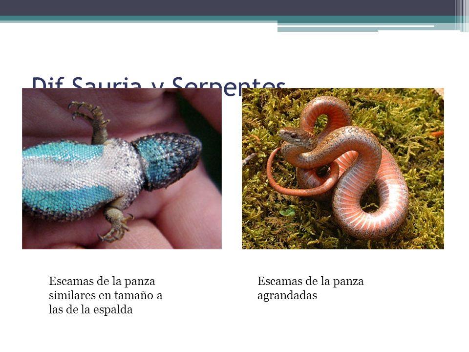 Dif Sauria y Serpentes Escamas de la panza similares en tamaño a las de la espalda.