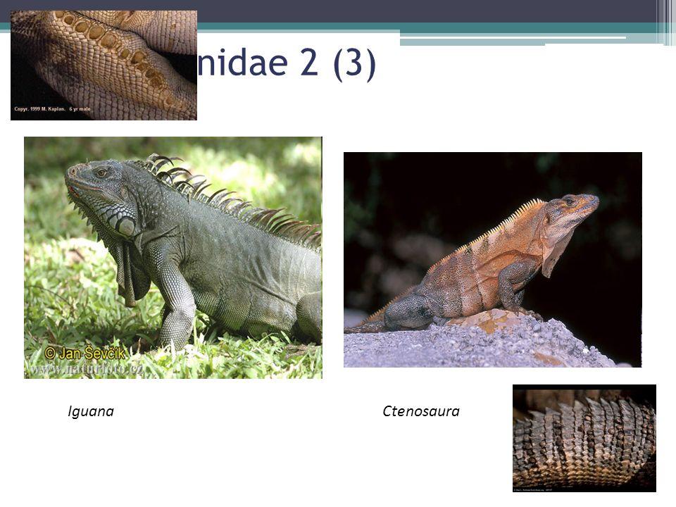Fam Iguanidae 2 (3) Iguana Ctenosaura