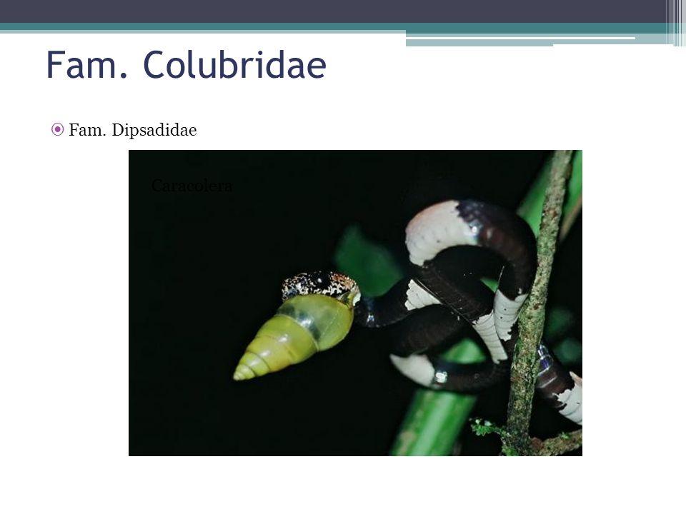 Fam. Colubridae Fam. Dipsadidae Caracolera
