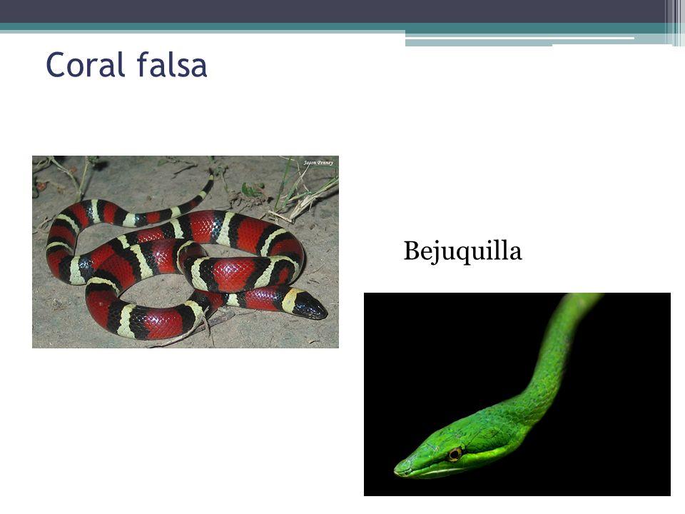 Coral falsa Bejuquilla
