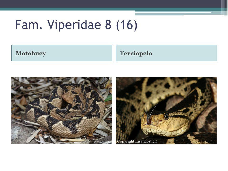 Fam. Viperidae 8 (16) Matabuey Terciopelo