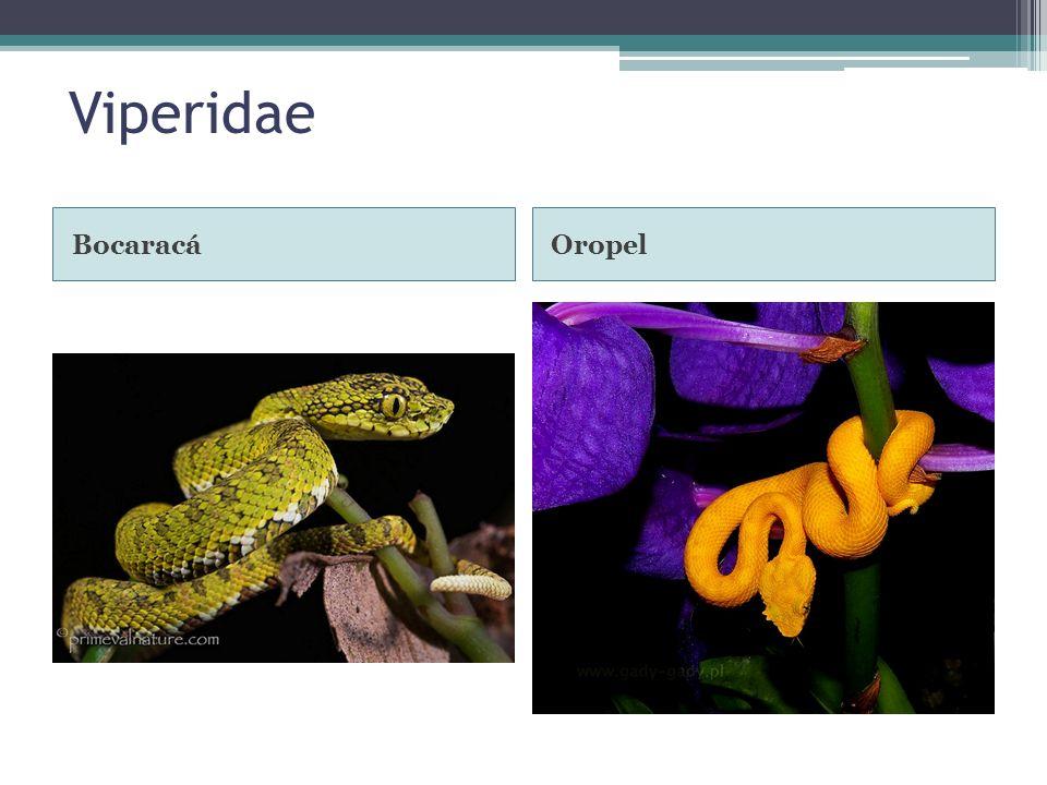 Viperidae Bocaracá Oropel