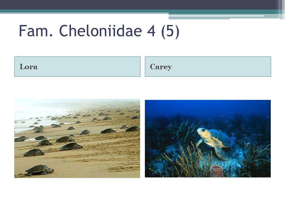 Fam. Cheloniidae 4 (5) Lora Carey