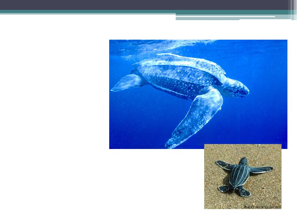 Caparazón de osteodermos Pelágica Come medusas