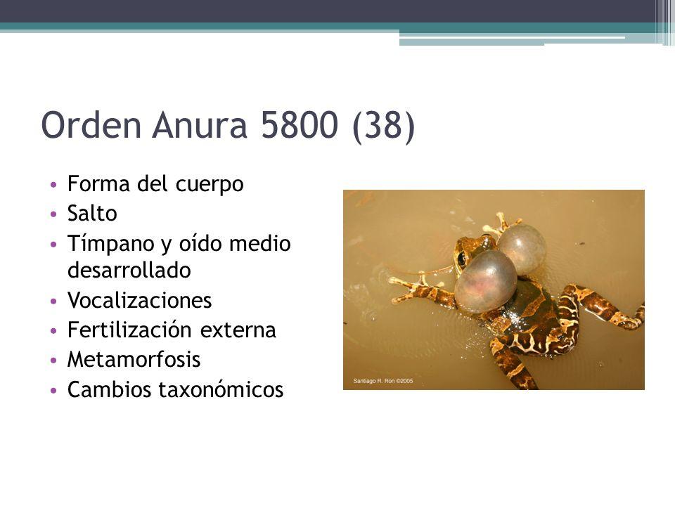 Orden Anura 5800 (38) Forma del cuerpo Salto