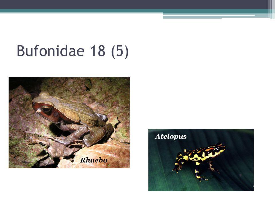 Bufonidae 18 (5) Atelopus Rhaebo