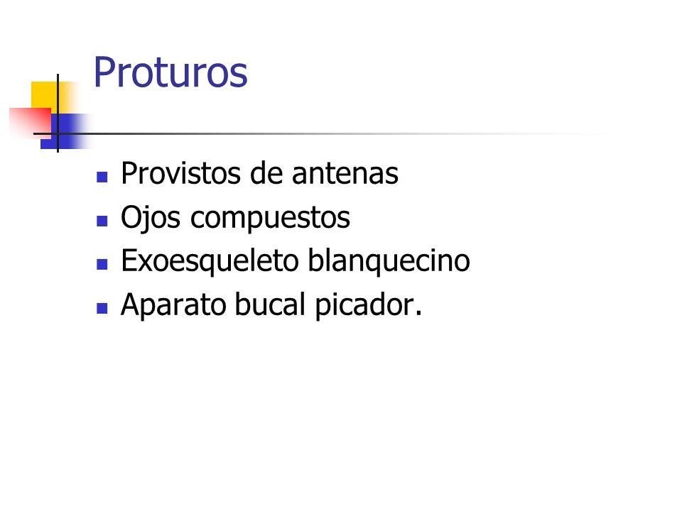 Proturos Provistos de antenas Ojos compuestos Exoesqueleto blanquecino