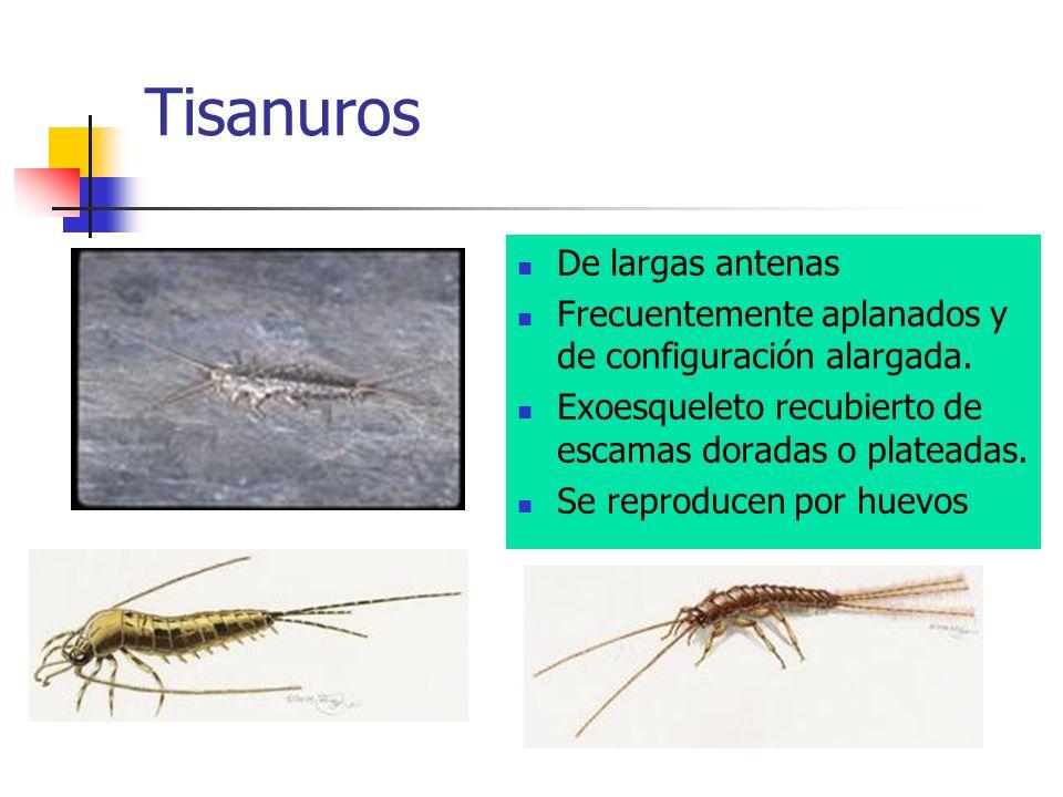 Tisanuros De largas antenas